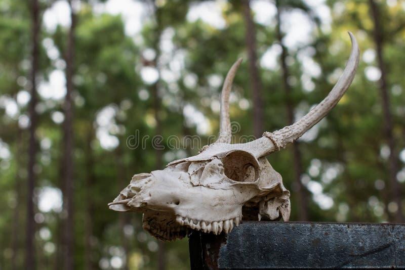 Κακό ζωικό κρανίο με τα ελαφόκερες στα ξύλα στοκ εικόνες με δικαίωμα ελεύθερης χρήσης