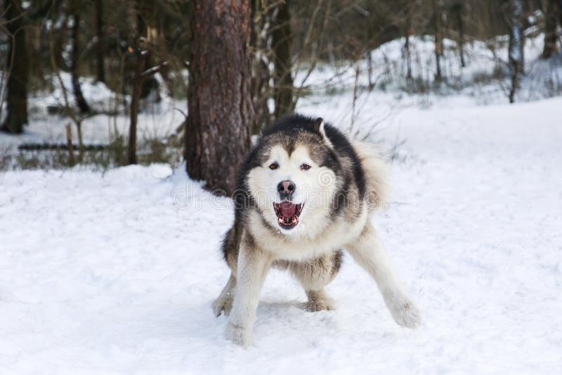 Κακό σκυλί malamute στοκ εικόνα