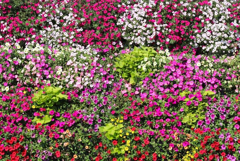 Καλάθια της ένωσης των λουλουδιών πετουνιών στο μπαλκόνι Λουλούδι πετουνιών στις διακοσμητικές εγκαταστάσεις Ιώδη λουλούδια μπαλκ στοκ φωτογραφίες
