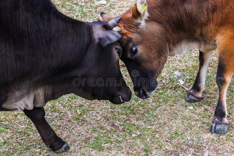 Καλή στιγμή Cattles' στοκ φωτογραφίες