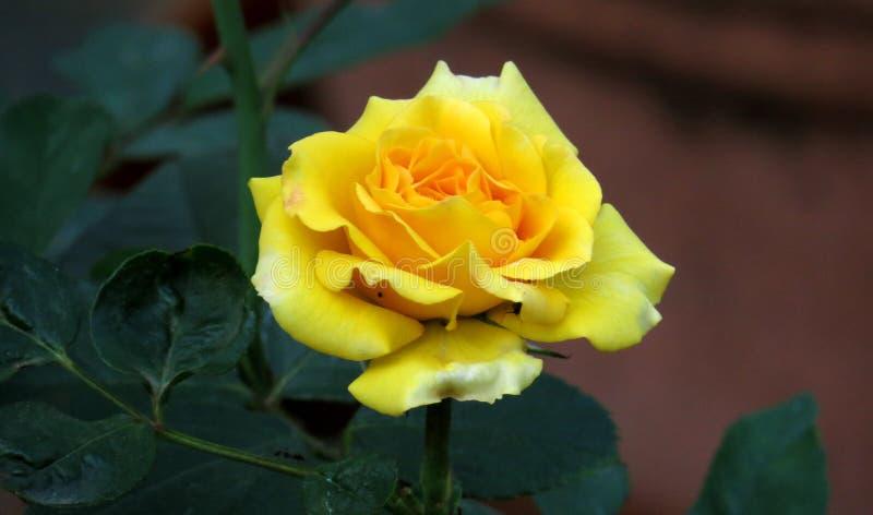 Καλή ταπετσαρία λουλουδιών Yellow Rose στοκ φωτογραφίες