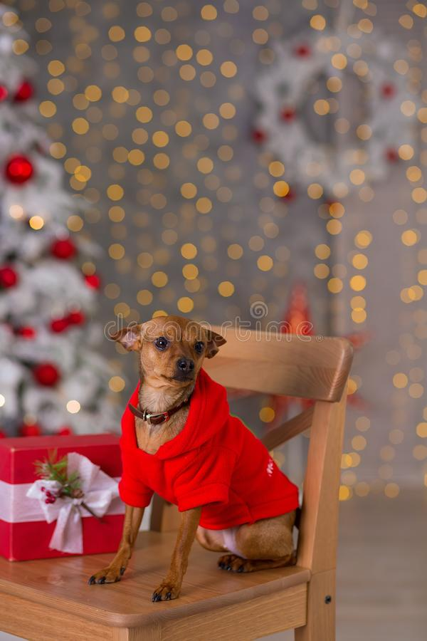 Καλή χρονιά, Χριστούγεννα, σκυλί κουταβιών διακοπές και εορτασμός, κατοικίδιο ζώο στο δωμάτιο το χριστουγεννιάτικο δέντρο Σκυλί σ στοκ εικόνα με δικαίωμα ελεύθερης χρήσης