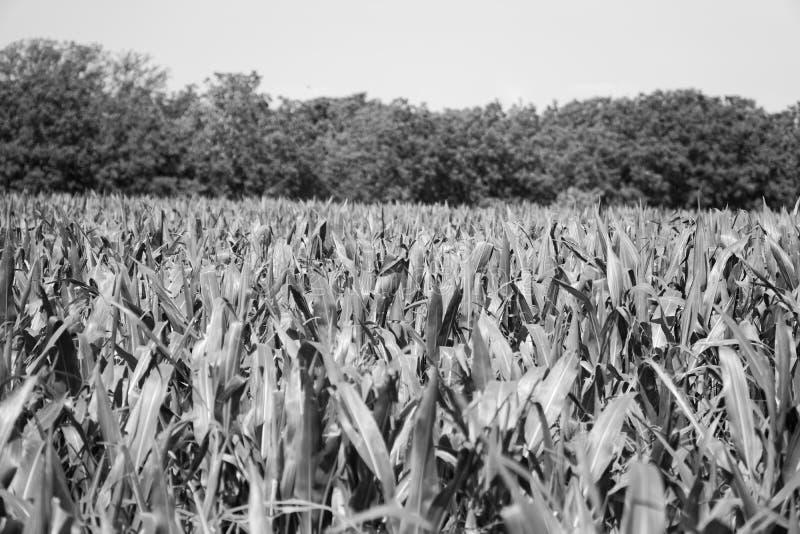 Καλαμπόκι που καλλιεργείται σε γεωργικές εκτάσεις, πράσινο καλαμπόκι, έκταση συγκομιδής στοκ εικόνα με δικαίωμα ελεύθερης χρήσης