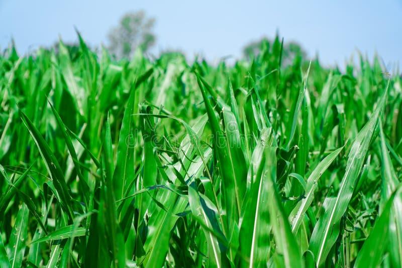 Καλαμπόκι που καλλιεργείται σε γεωργικές εκτάσεις, πράσινο καλαμπόκι, έκταση συγκομιδής στοκ φωτογραφία με δικαίωμα ελεύθερης χρήσης