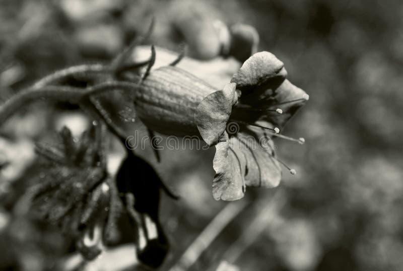 Καλιφόρνια bluebell, ανήλικος Phacelia, στοκ φωτογραφίες με δικαίωμα ελεύθερης χρήσης