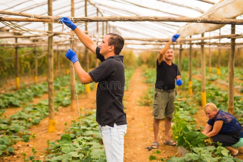 Καλλιέργεια, κηπουρική, γεωργία και έννοια ανθρώπων - οικογενειακή επιχείρηση Οικογένεια που εργάζεται μαζί στο θερμοκήπιο στοκ εικόνες