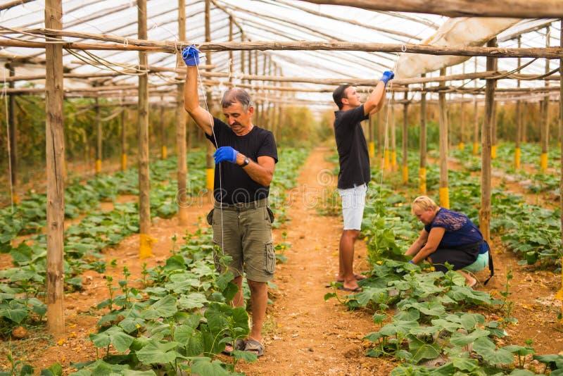 Καλλιέργεια, κηπουρική, γεωργία, συγκομιδή και έννοια ανθρώπων - ευτυχής οικογένεια που εργάζεται στις εγκαταστάσεις ή τα σπορόφυ στοκ φωτογραφία