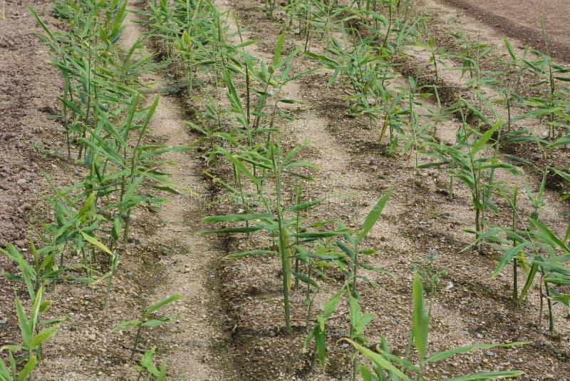 Καλλιέργεια πιπεροριζών στοκ φωτογραφία με δικαίωμα ελεύθερης χρήσης