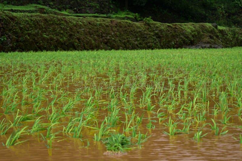 Καλλιέργεια ρυζιού ορυζώνα στοκ εικόνες