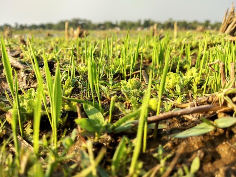 Καλλιέργεια ρυζιού στοκ εικόνα με δικαίωμα ελεύθερης χρήσης