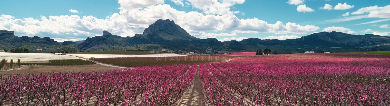 Καλλιεργημένα πανοραμικά ανθίζοντας οπωρωφόρα δέντρα εικόνας Cieza, Ισπανία στοκ εικόνες