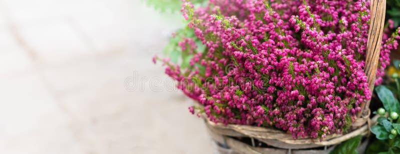 Καλλιεργημένα σε δοχείο ρόδινα λουλούδια ερείκης calluna vulgaris ή κοινά στον ήλιο, έμβλημα στοκ εικόνες