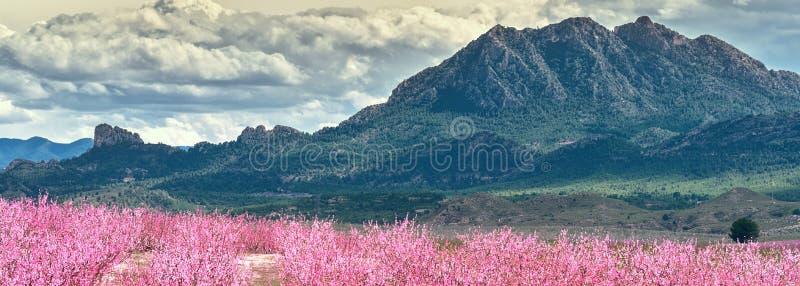 Καλλιεργημένοι οριζόντιοι οπωρώνες εικόνας στην άνθιση, Cieza, Ισπανία στοκ εικόνες