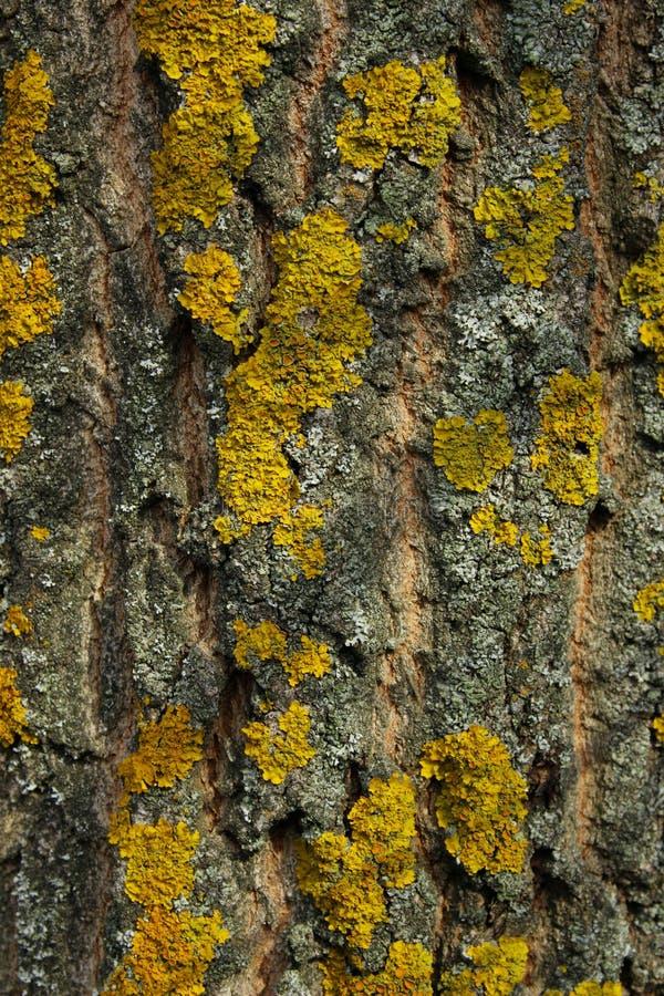 Καλλιεργημένος πυροβολισμός ενός φλοιού Κίτρινη λειχήνα στον ομοφυλοφιλικό φλοιό δέντρων στοκ φωτογραφίες