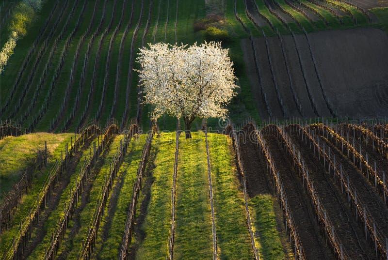 Καλλιτεχνικό αγροτικό τοπίο ανοίξεων με το ανθίζοντας άγριο δέντρο κερασιών και τις πολυάριθμες σειρές των νέων αμπέλων σταφυλιών στοκ φωτογραφία με δικαίωμα ελεύθερης χρήσης