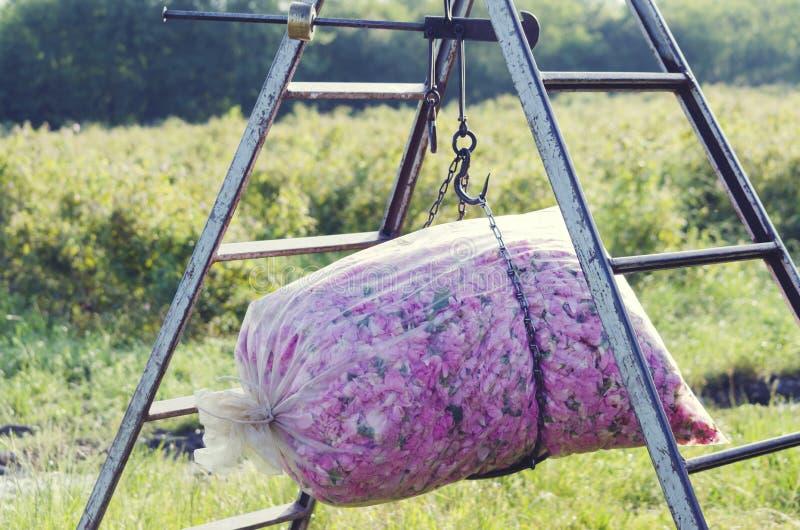 Καλλυντική άνθιση ανθών φυτειών αρώματος βιομηχανίας αγρονομίας γεωργίας σκαλών πλαστικών τσαντών τριαντάφυλλων βάρους στοκ φωτογραφία με δικαίωμα ελεύθερης χρήσης