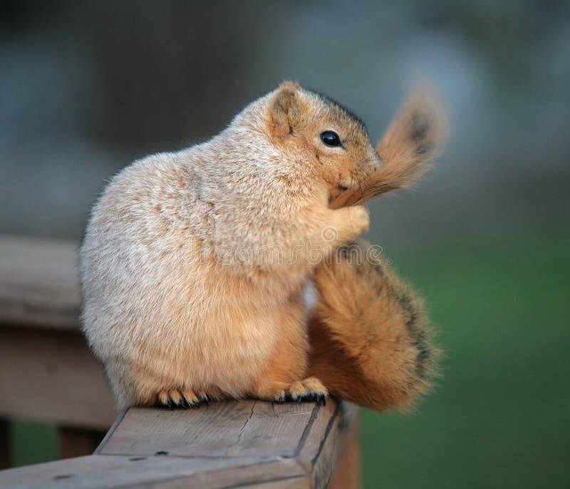 καλλωπίζοντας σκίουρος στοκ εικόνα με δικαίωμα ελεύθερης χρήσης