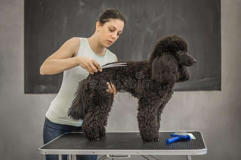 Καλλωπισμός ενός μικρού σκυλιού σε ένα κομμωτήριο για τα σκυλιά στοκ εικόνες με δικαίωμα ελεύθερης χρήσης