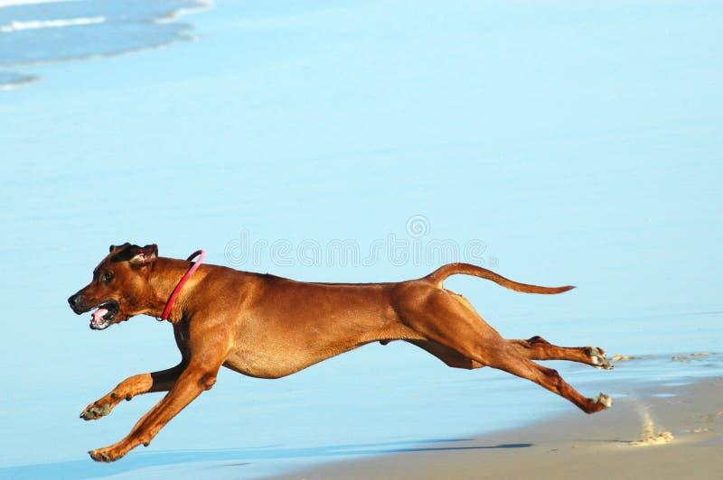 καλπασμός σκυλιών στοκ φωτογραφία
