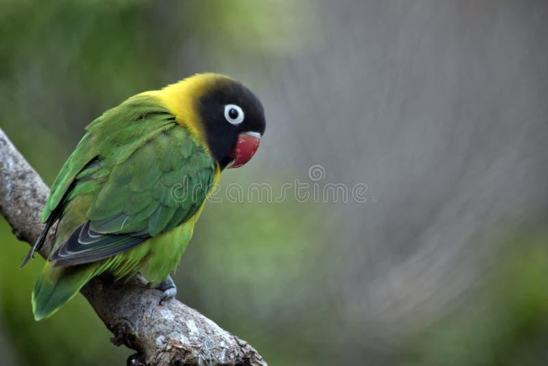 Καλυμμένα lovebirds στοκ φωτογραφίες με δικαίωμα ελεύθερης χρήσης