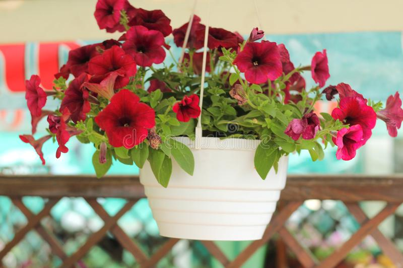 Καλός ρόδινος, άσπρος, πορφυρός, λουλούδια πετουνιών στα δοχεία στοκ εικόνα με δικαίωμα ελεύθερης χρήσης