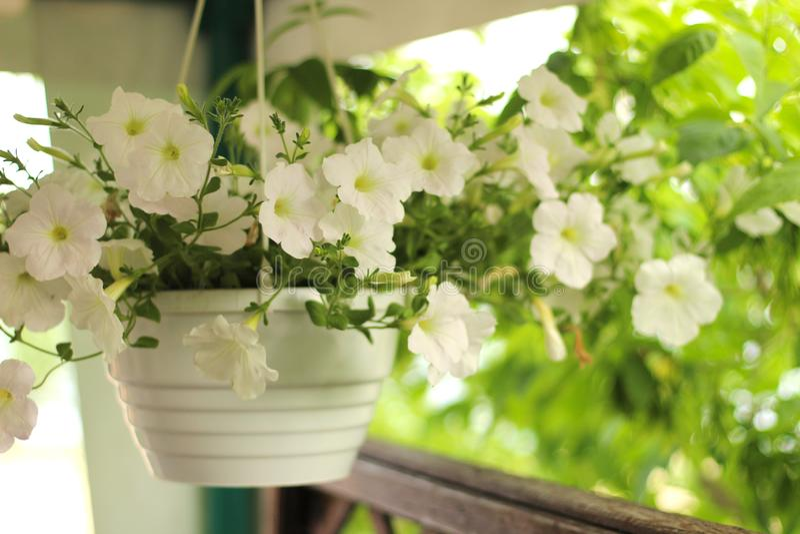Καλός ρόδινος, άσπρος, πορφυρός, λουλούδια πετουνιών στα δοχεία στοκ εικόνες