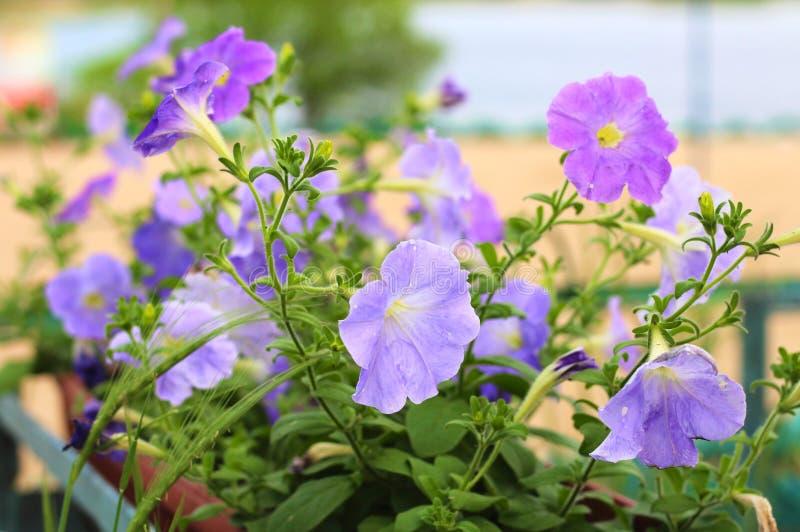 Καλός ρόδινος, άσπρος, πορφυρός, λουλούδια πετουνιών στα δοχεία στοκ φωτογραφίες με δικαίωμα ελεύθερης χρήσης