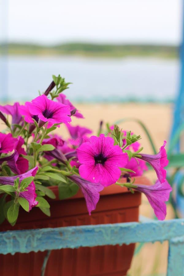 Καλός ρόδινος, άσπρος, πορφυρός, λουλούδια πετουνιών στα δοχεία στοκ εικόνες με δικαίωμα ελεύθερης χρήσης