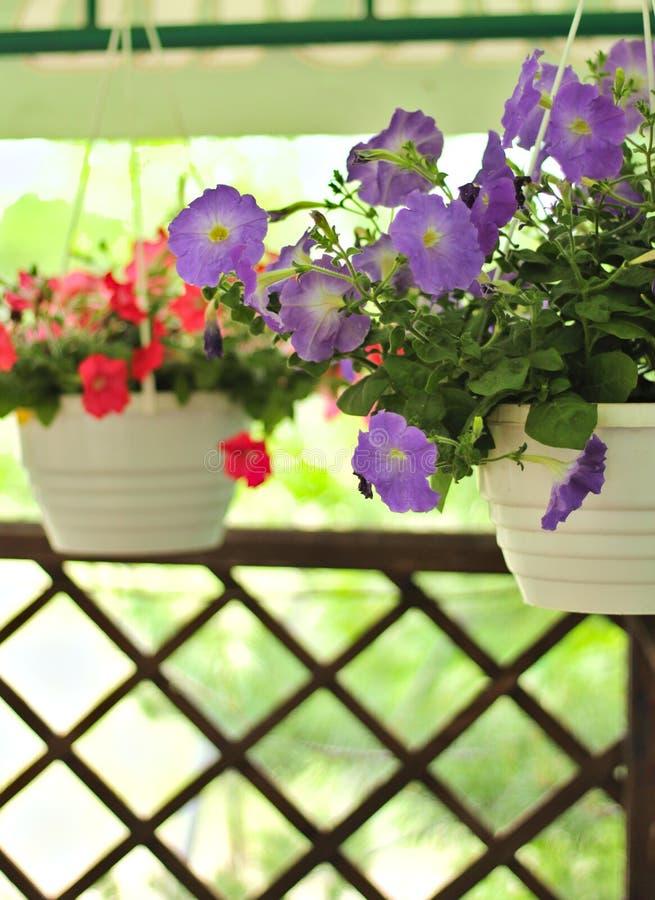 Καλός ρόδινος, άσπρος, πορφυρός, λουλούδια πετουνιών στα δοχεία στοκ φωτογραφία με δικαίωμα ελεύθερης χρήσης