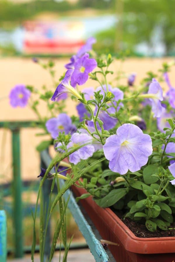 Καλός ρόδινος, άσπρος, πορφυρός, λουλούδια πετουνιών στα δοχεία στοκ εικόνα