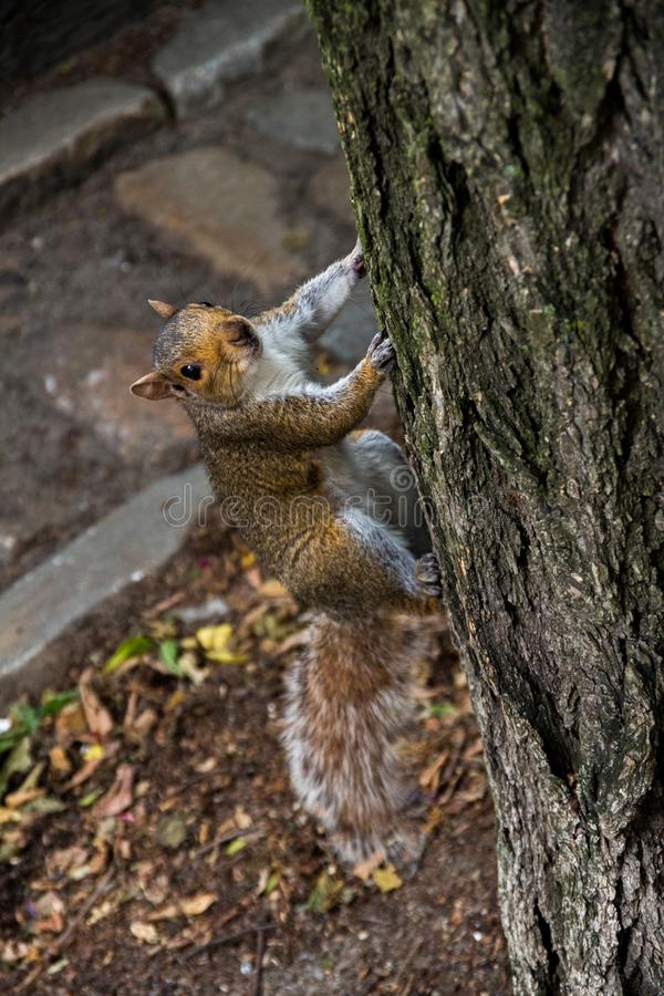 Καλός σκίουρος που είναι λατρευτός cimbing το δέντρο στοκ εικόνες