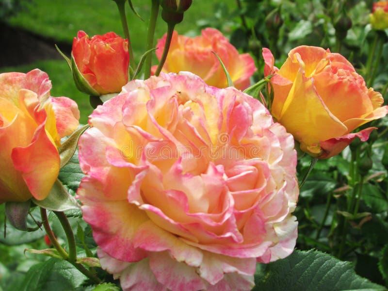 Καλός φωτεινός ζωηρόχρωμος αυξήθηκε άνθος λουλουδιών στον κήπο το 2019 πάρκων στοκ φωτογραφία