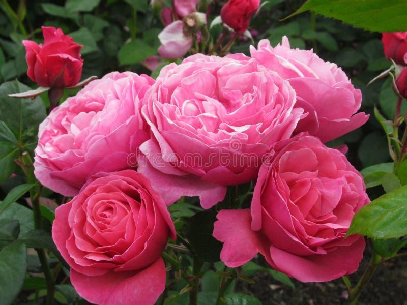 Καλός φωτεινός ρόδινος αυξήθηκε άνθος λουλουδιών στον κήπο το 2019 πάρκων στοκ εικόνα