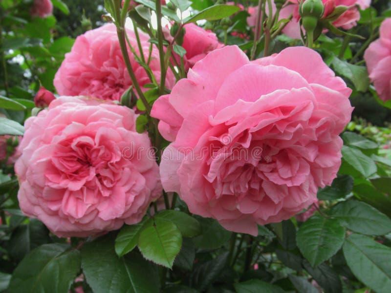 Καλός φωτεινός ρόδινος αυξήθηκε άνθος λουλουδιών στον κήπο το 2019 πάρκων στοκ φωτογραφίες με δικαίωμα ελεύθερης χρήσης