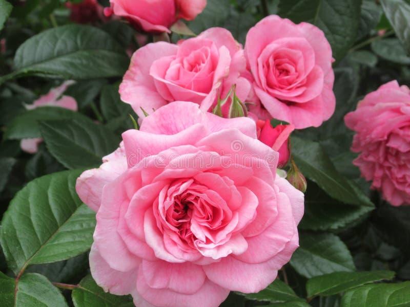 Καλός φωτεινός ρόδινος αυξήθηκε άνθος λουλουδιών στον κήπο το 2019 πάρκων στοκ εικόνες