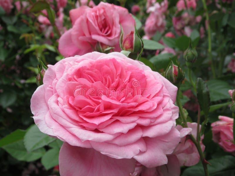 Καλός φωτεινός ρόδινος αυξήθηκε άνθος λουλουδιών στον κήπο το 2019 πάρκων στοκ εικόνα με δικαίωμα ελεύθερης χρήσης