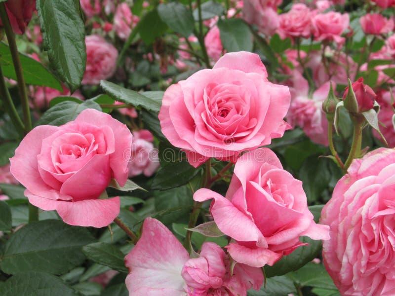Καλός φωτεινός ρόδινος αυξήθηκε άνθος λουλουδιών στον κήπο το 2019 πάρκων στοκ εικόνες με δικαίωμα ελεύθερης χρήσης