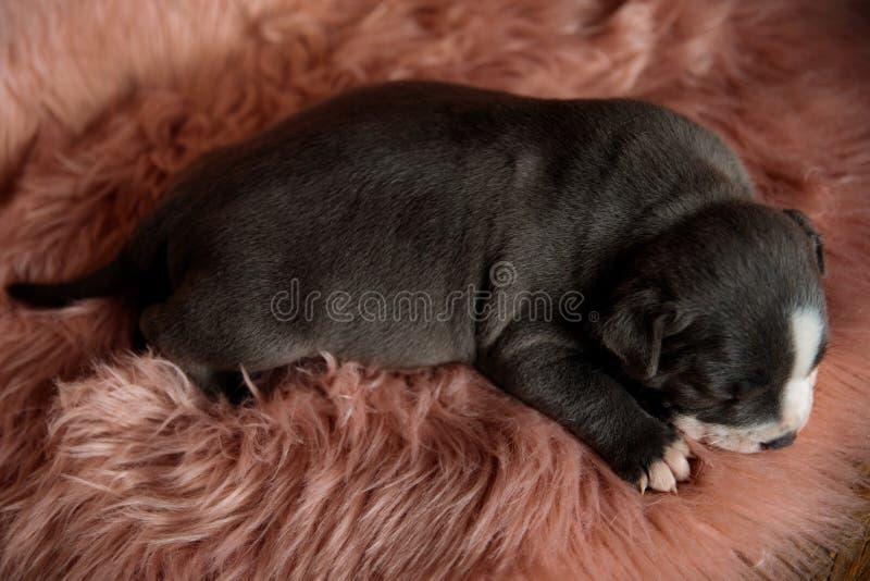 Καλός ύπνος κουταβιών Amstaff στοκ φωτογραφίες