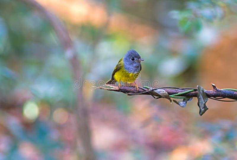 Καλό γκρίζος-διευθυνμένο πουλί καναρίνι-flycatcher ή γκρίζος-διευθυνμένο Flycatc στοκ φωτογραφία