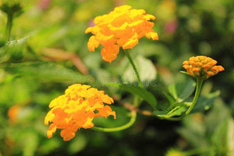 Καλό κίτρινο άνθος Lantana Camara στοκ φωτογραφία με δικαίωμα ελεύθερης χρήσης