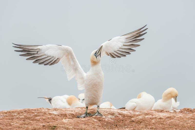 Καλό ξύπνημα φύσης, άγρια gannets Βόρειου Ατλαντικού στοκ φωτογραφίες με δικαίωμα ελεύθερης χρήσης