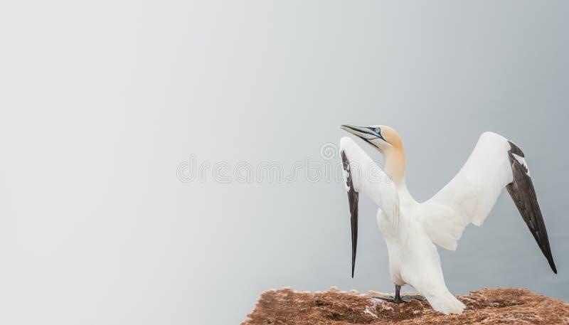 Καλό ξύπνημα φύσης, άγριο gannet Βόρειου Ατλαντικού στοκ εικόνες