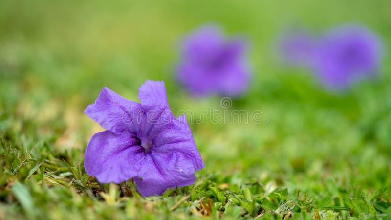 Καλό πορφυρό θολωμένο λουλούδια υπόβαθρο στοκ φωτογραφίες με δικαίωμα ελεύθερης χρήσης