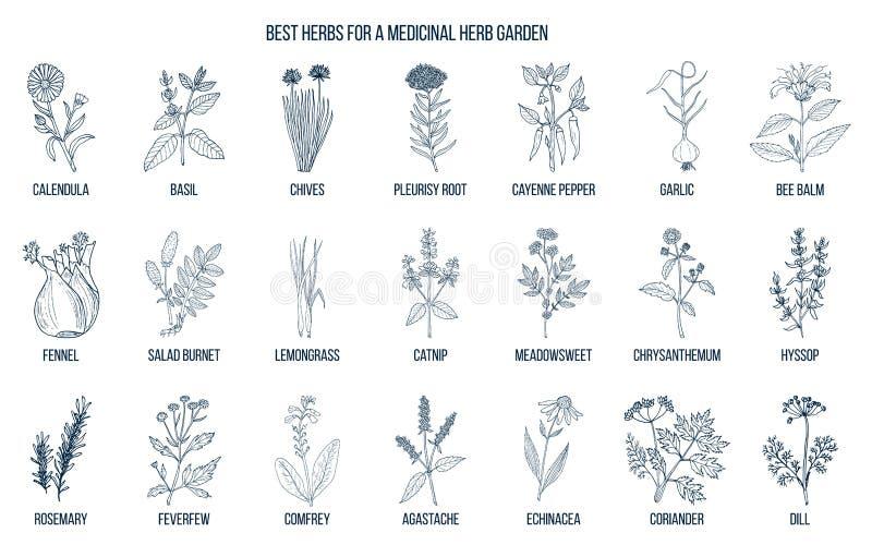 Καλύτερα χορτάρια που αυξάνονται στον ιατρικό κήπο σας διανυσματική απεικόνιση