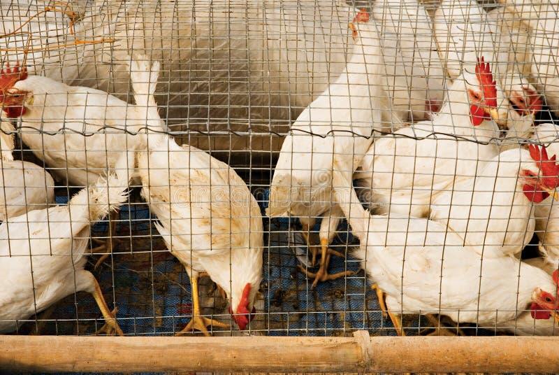καλώδιο κοτόπουλων κλ&omic στοκ φωτογραφίες με δικαίωμα ελεύθερης χρήσης
