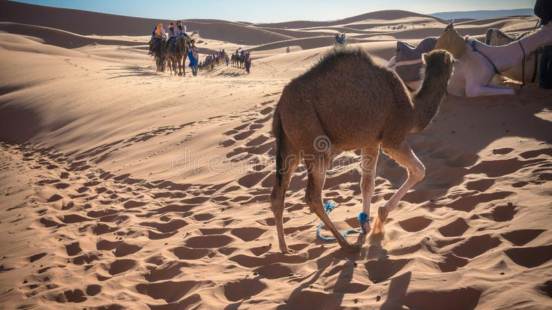 Καμήλα που εκτιμά την έρημο στοκ φωτογραφία