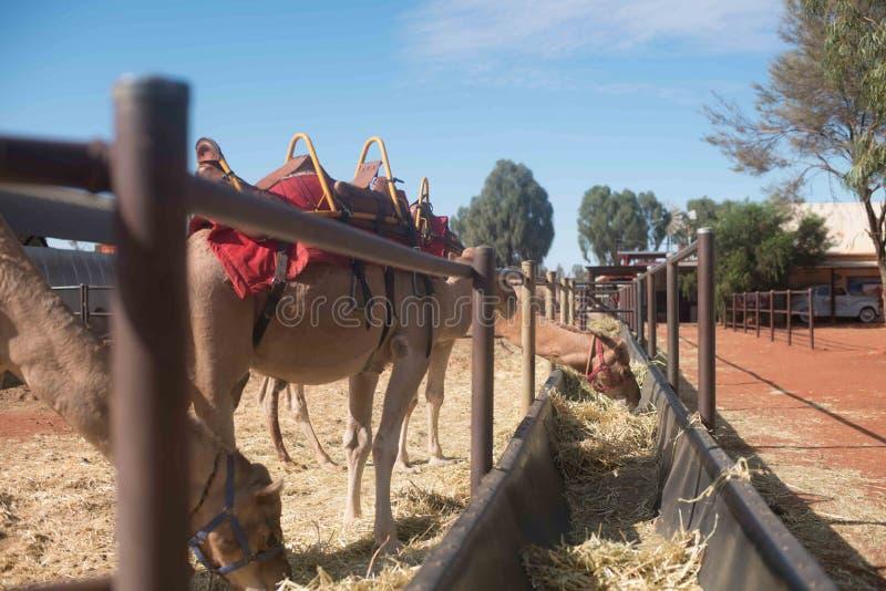 Καμήλα σε ένα κόκκινο halter στο ηλιοβασίλεμα στοκ φωτογραφία με δικαίωμα ελεύθερης χρήσης
