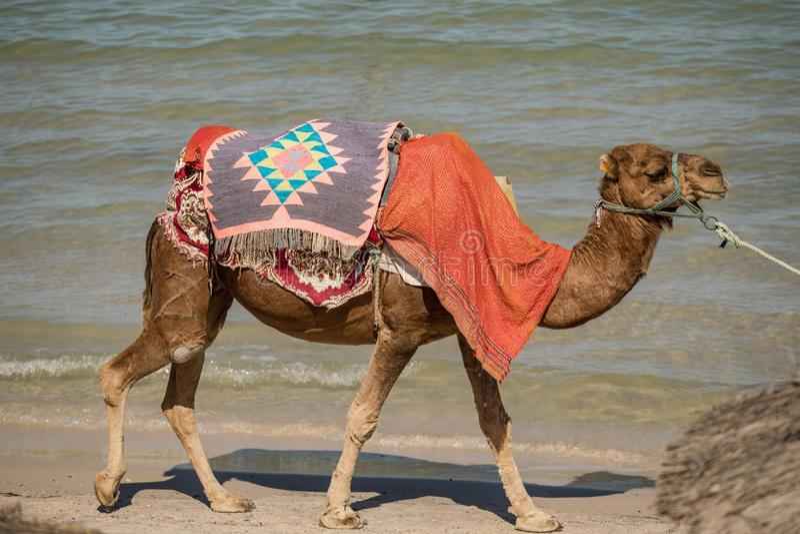 Καμήλα στην παραλία, φύση, ζώα, Μοναστίρ, ΤΥΝΗΣΙΑΚΑ στοκ εικόνες