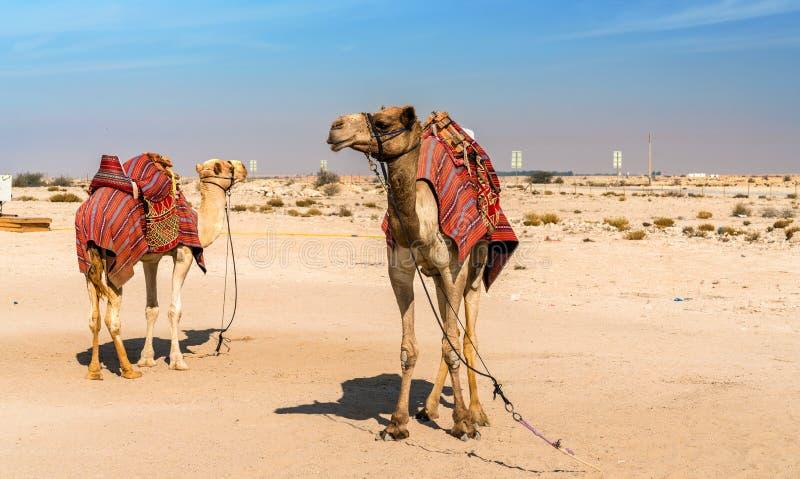 Καμήλες κοντά στο ιστορικό Al Zubara οχυρών στο Κατάρ στοκ εικόνες