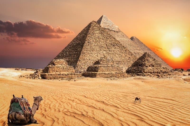 Καμήλες στην έρημο ηλιοβασιλέματος μπροστά από τις διάσημες πυραμίδες Giza στοκ φωτογραφίες με δικαίωμα ελεύθερης χρήσης